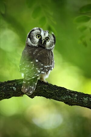 boreal: Small bird Boreal owl, Aegolius funereus, sitting on the tree branch in green forest background
