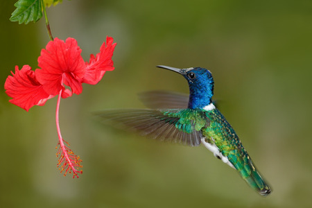 Hummingbird White-necked Jacobin, Florisuga mellivora, flying next to beautiful red hibiscus flower with green forest background, Tandayapa, Ecuador