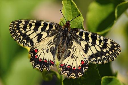 festoon: Butterfly Southern Festoon, Zerynthia polyxena, sitting on the flower, summer scene, Slovakia