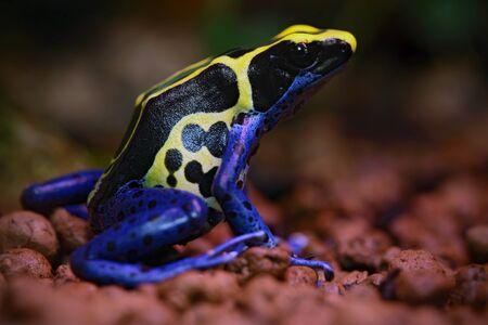 rana venenosa: Azul y amarillo de la rana del veneno Amazon teñido, Dendrobates tinctorius, en el hábitat de la naturaleza