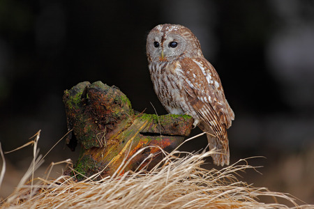 tawny owl: Brown bird Tawny owl sitting on tree stump with grass in the dark forest habitat Stock Photo