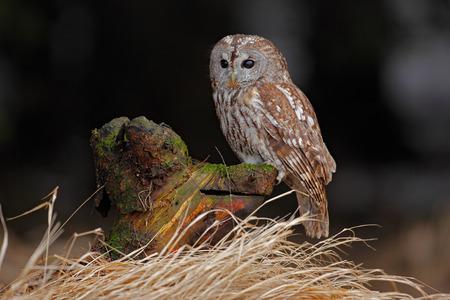 tawny: Brown bird Tawny owl sitting on tree stump with grass in the dark forest habitat Stock Photo