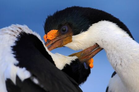 courtship: Courtship portrait of Imperial Shag, Phalacrocorax atriceps, cormorant from Falkland Islands