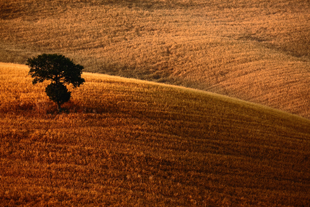 sow: Brown wavy hillocks sow field with solitaire tree alone, agriculture landscape, Tuscany, Italy Stock Photo
