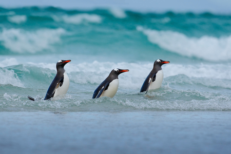 swimming bird: Gentoo penguin, three water bird in the ocean, swimming and jumping in the sea, Falkland Island