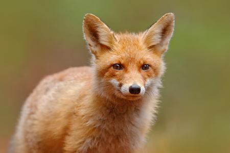 zorro: Fox rojo, vulpes del Vulpes, retrato lindo de los animales de naranja en el bosque verde
