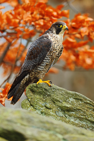 falco: Bird of prey Peregrine Falcon sitting on the rock with orange autumn forest in background