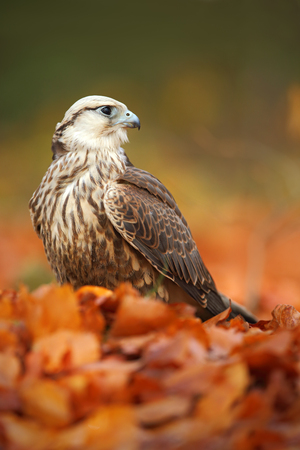 lanner: Bird of prey Lanner Falcon with with orange leaves branch in autumn forest