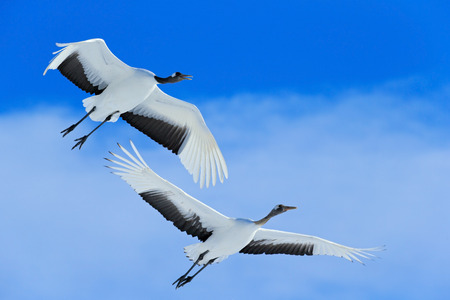 crane bird: Flying White two birds Red-crowned crane Stock Photo