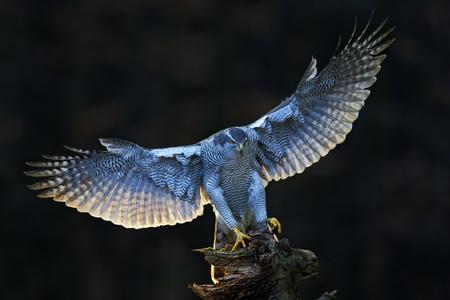 オオタカ、夕刻の太陽バックライト、木の幹、ノルウェーに上陸、バック グラウンドで自然林の生息地のオープンの翼と猛禽類の飛行