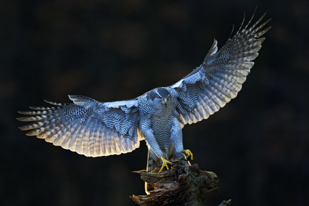 Goshawk, flying bird of prey with open wings with evening sun backlight, nature forest habitat in the background, landing on tree trunk, Norway