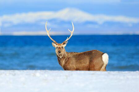 エゾシカ、エゾシカ、ダークブルーの海、冬の山を背景に、自然の生息地で角を持つ動物の海岸で日本します。