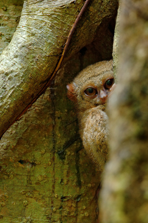 nocturnal: Spectral Tarsier, Tarsius spectrum, hidden portrait of rare nocturnal animal,  in the large ficus tree, Tangkoko National Park, Sulawesi, Indonesia, Asia Stock Photo