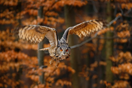 Flying Eurasian Eagle Owl, Bubo bubo, with open wings in forest habitat, orange autumn trees Фото со стока