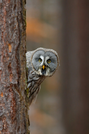 Portrait of Great grey owl, Strix nebulosa, hidden of tree trunk in the winter forest, with yellow eyes Stockfoto