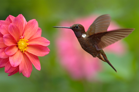 Hummingbird Brown Inca, Coeligena wilsoni, flying next to beautiful pink flower, pink bloom in background, Colombia