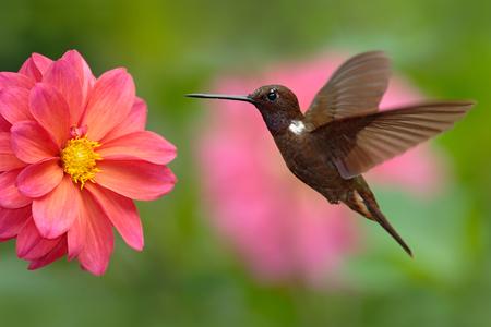 colombia: Hummingbird Brown Inca, Coeligena wilsoni, flying next to beautiful pink flower, pink bloom in background, Colombia