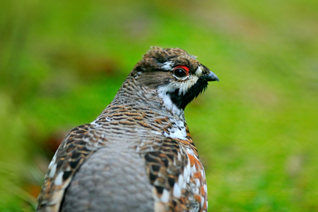 Hazel Grouse, Bonasa bonasia, portrait of rare forest bird, Sweden