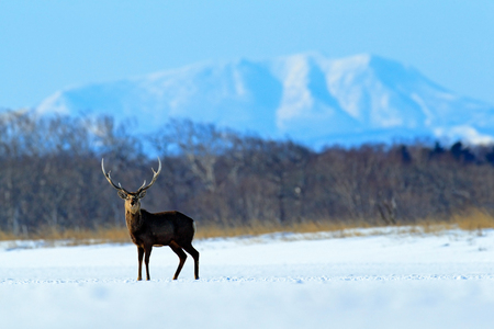 Hokkaido sika deer, Cervus nippon yesoensis, in the snow meadow, winter mountains and forest in the background, animal with antler in the nature habitat, winter scene, Hokkaido, Japan