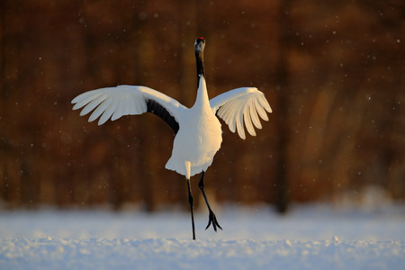 wooing: Dancing white bird Red-crowned crane, Grus japonensis, with open wing, with snow storm, during sunset, Hokkaido, Japan