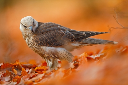 lanner: Lanner Falcon, rare bird of prey with orange leaves branch in autumn forest, Spain