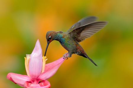 White-tailed Hillstar, Urochroa bougueri, hummingbird in flight on the ping flower, gren and yellow background, Montezuma, Colombia