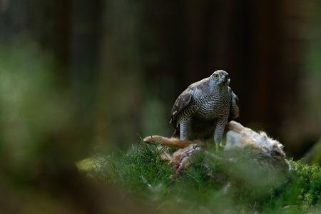 Bird of Prey Goshawk, Accipiter gentilis, feeding kill hare in the forest