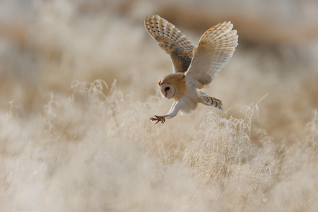 Hunting Barn Owl in morning nice light