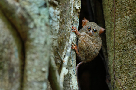 Portrait of Spectral Tarsier, Tarsius spectrum, from Tangkoko National Park, Sulawesi, Indonesia, in the large ficus tree