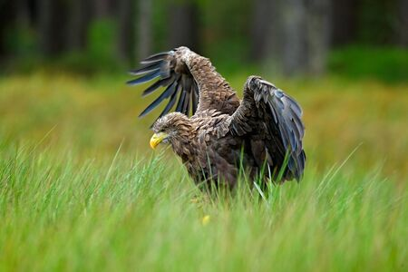 whitetailed: White-tailed Eagle, Haliaeetus albicilla, landing in the green marsh grass, with open wingspan, forest in the background Stock Photo