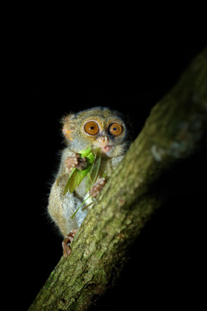spectral: Spectral Tarsier, Tarsius spectrum, portrait of rare nocturnal animal with catch kill green grasshopper,  in the large ficus tree, Tangkoko National Park, Sulawesi, Indonesia, Asia