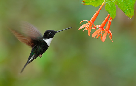 Collared Inca, Coeligena torquata, dark green black and white hummingbird flying next to beautiful orange flower, Colombia