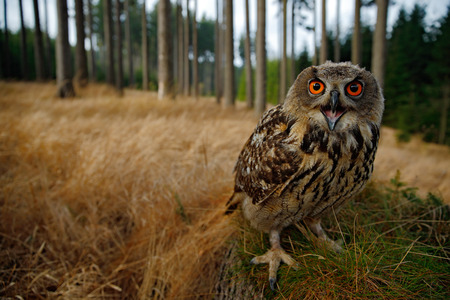 wide angle lens: Sitting young Eurasian Eagle Owl on moss tree stump with in forest habitat, wide angle lens photo