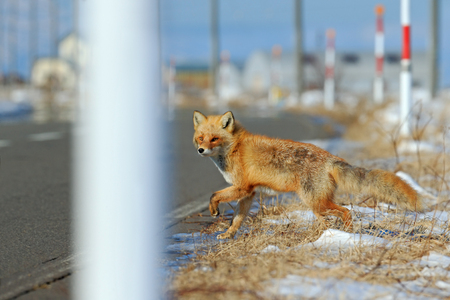 red cross red bird: Red fox, Vulpes vulpes, crossing the road