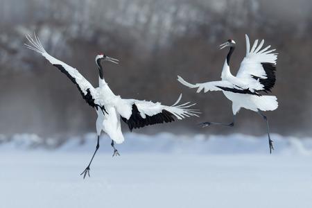 japon: Danse paire de grue à couronne rouge avec l'aile ouverte en vol, avec la tempête de neige, Hokkaido, Japon