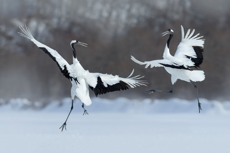 Dancing pair of Red-crowned crane with open wing in flight, with snow storm, Hokkaido, Japan