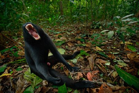 celebes: Celebes crested Macaque