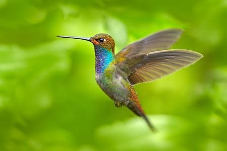Hummingbird in flight Banque d'images