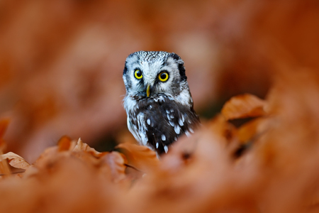 boreal: Boreal owl in the orange autumn larch forest in central Europe, close-up portrait in the nature habitat, Czech Republic