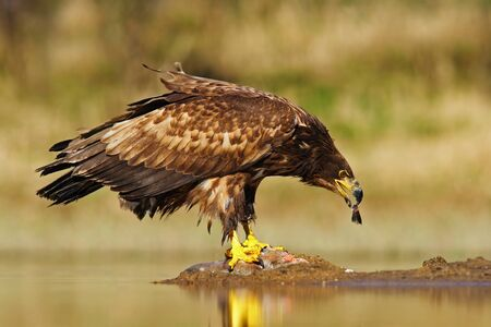 polen: White-tailed Eagle, Haliaeetus albicilla, feeding kill fish in the water, with brown grass in background