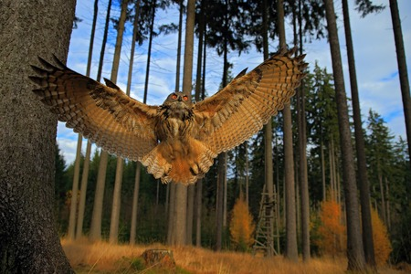 Flying Eurasian Eagle Owl with open wings in forest habitat, wide angle lens photo