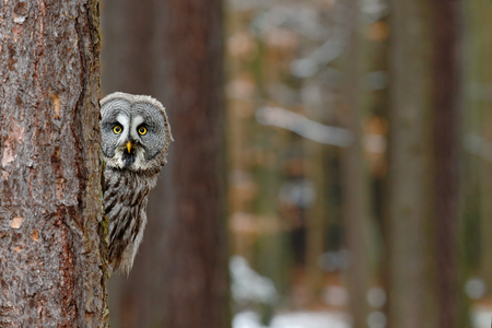 Great grey owl, Strix nebulosa, hidden of tree trunk in the winter forest, portrait with yellow eyes 스톡 콘텐츠