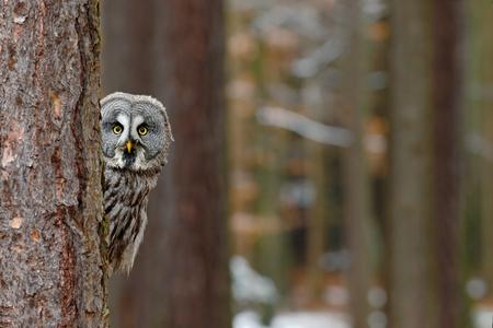 Gran búho gris, Strix nebulosa, escondido de tronco de árbol en el bosque de invierno, retrato con los ojos amarillos