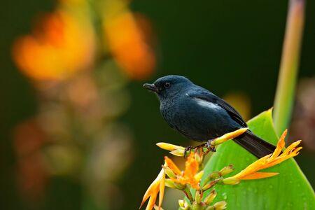 slaty: Glossy Flowerpiercer, Diglossa lafresnayii, black bird with bent bill sittin on the orange flower, nature habitat, exotic animal from Colombia
