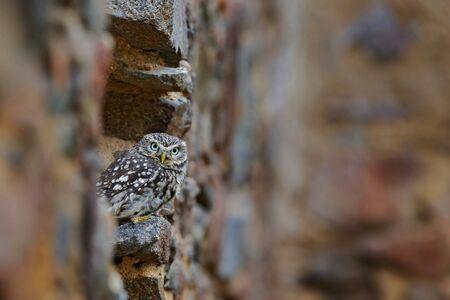 athene: Little Owl, Athene noctua, bird in the nature old urban habitat