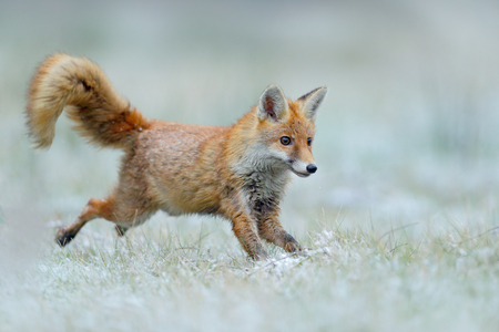 Running Red Fox, Vulpes vulpes, at snow winter