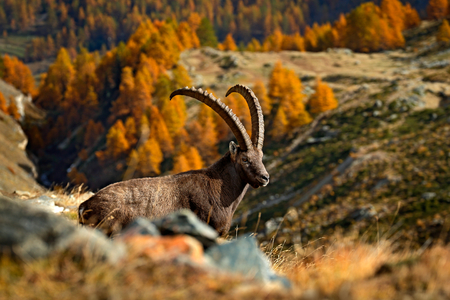 Sitting antler Alpine Ibex, Capra ibex ibex, with autumn orange larch tree in background, National Park Gran Paradiso, Italy