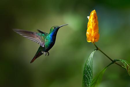 volar: Verde y azul Colibrí Negro-throated Mango, Anthracothorax nigricollis, volando junto a la hermosa flor amarilla