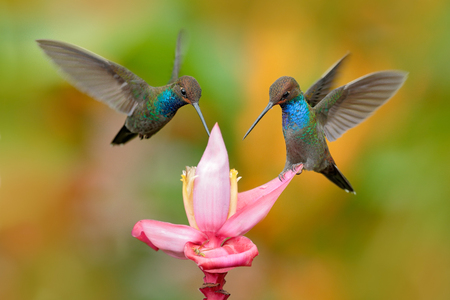 White-tailed Hillstar, Urochroa bougueri, two hummingbirds in flight on the ping flower, green and yellow background, two feeding birds in the nature habitat, Montezuma, Colombia