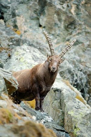 capra: Portrait of antler Alpine Ibex, Capra ibex, with rocks in background, France